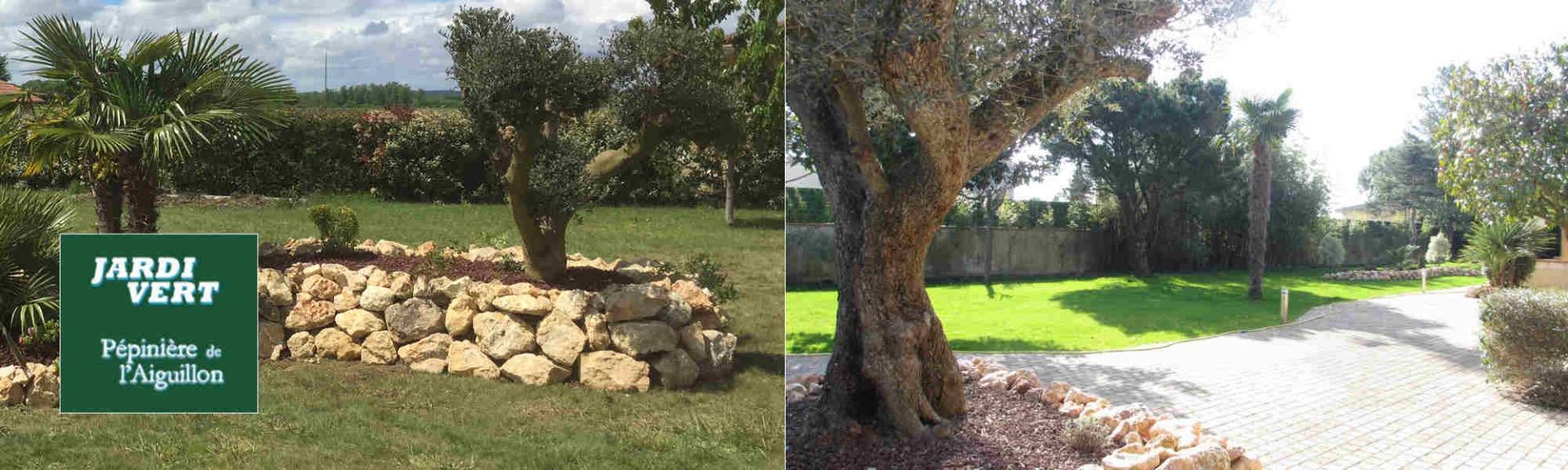 Création de massifs avec olivier - Jardi Vert Pépinière de l'Aiguillon