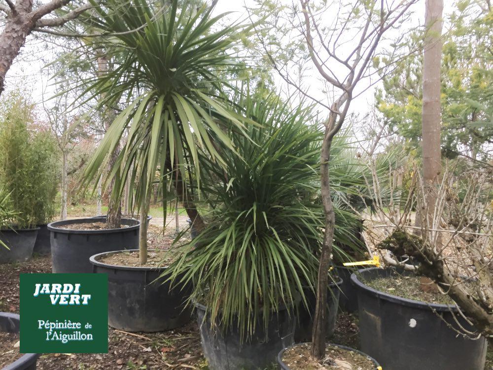 Jardinerie pépinière de l'Aiguillon - Producteur de palmiers à Toulouse