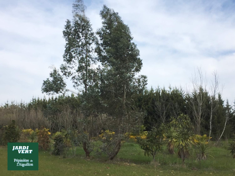 Vente d'eucalyptus - Pépinière de l'Aiguillon producteur Toulouse