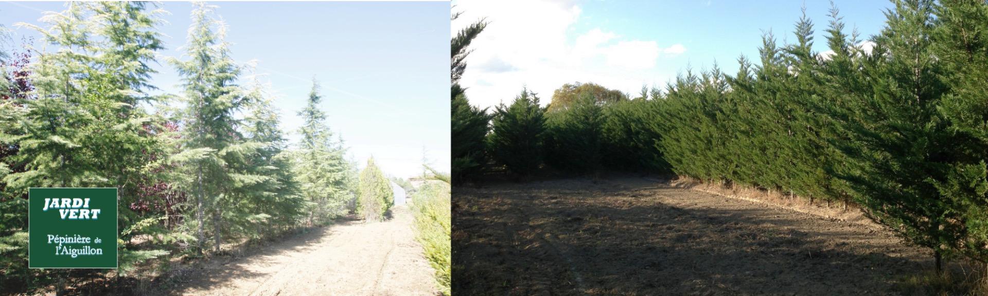 Grands coniferes et cypres - Pépinière de l'Aiguillon producteur Toulouse