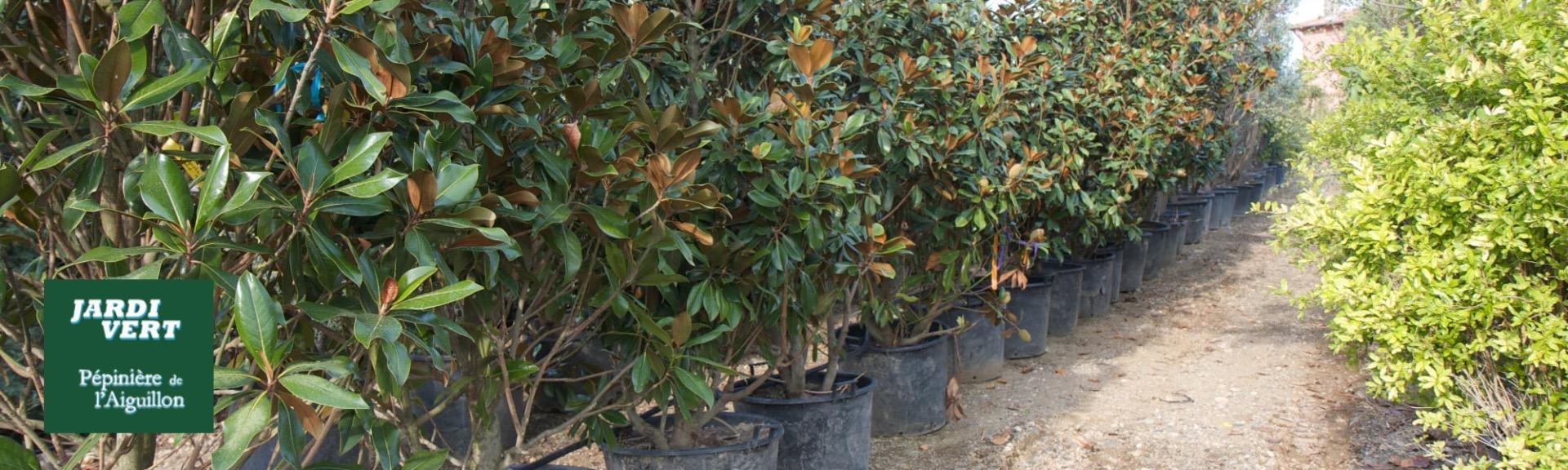 Vente de magnolia grandiflora - Pépinière de l'Aiguillon producteur Toulouse