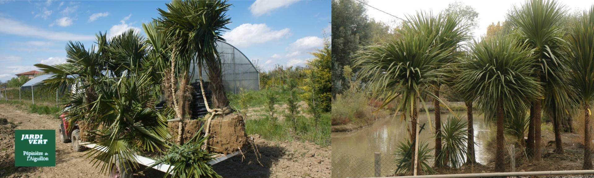 Vente de palmiers pour l'extérieur à Toulouse - Jardinerie pépinière de l'aiguillon producteur palmiers