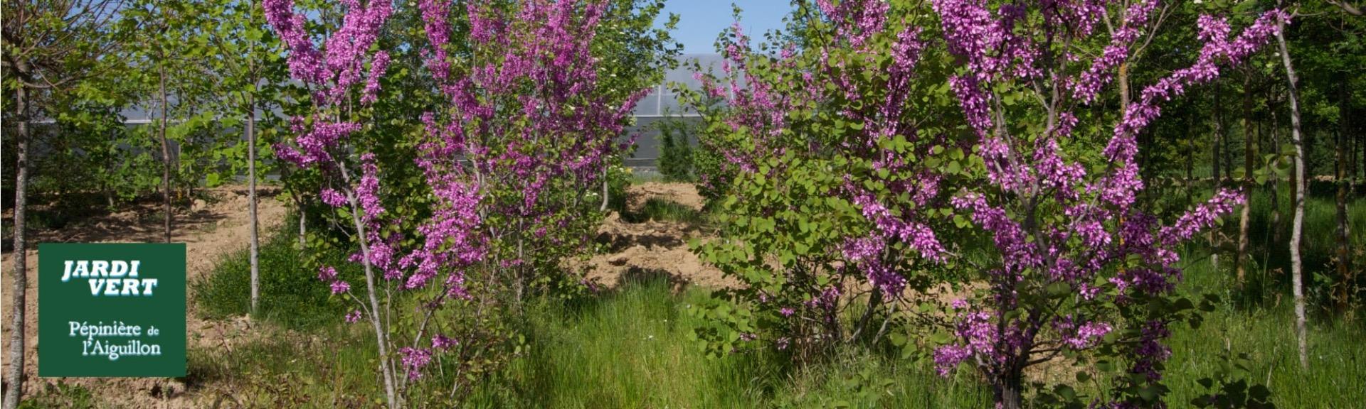 Livraison et plantation d'arbre de Judée - Pépinière de l'Aiguillon producteur Toulouse