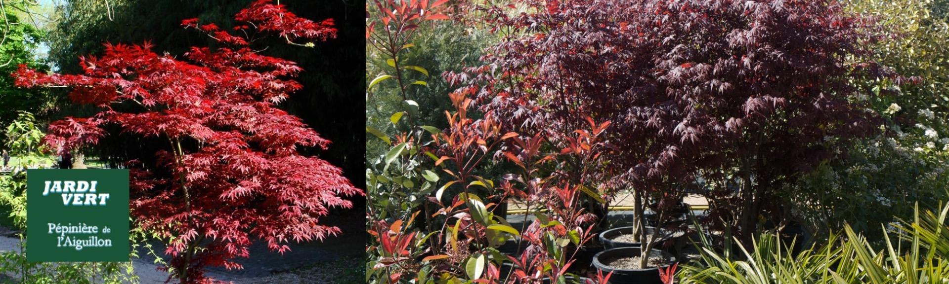 Vente d'érable du Japon rouges et verts - Pépinière de l'Aiguillon jardinerie à Toulouse