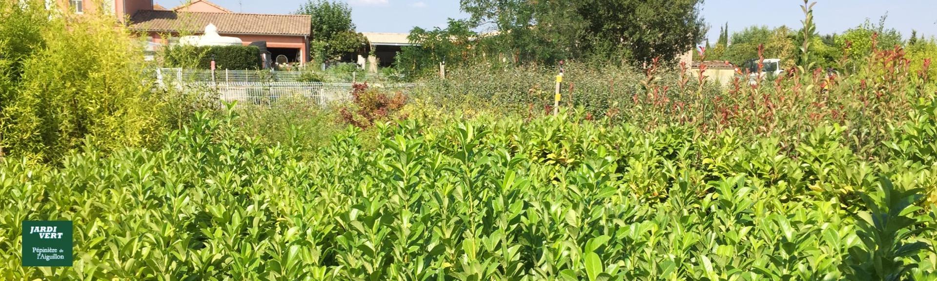 Vente de plans de photinia red robin - Pépinière de l'Aiguillon jardinerie à Toulouse
