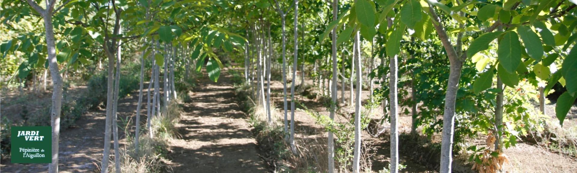 Vente de noyers et autres arbres fruitiers - jardinerie pépinière de l'aiguillon, producteur à Toulouse