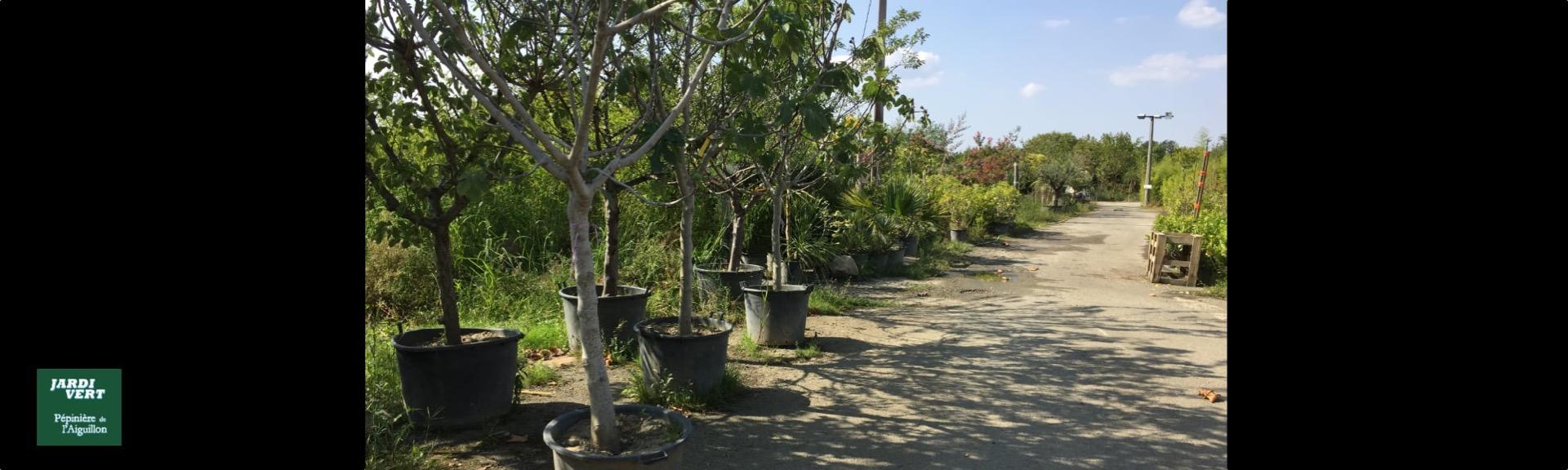 Producteur et vente de grands figuiers et arbre tige - Jardi Vert pépinière de l'Aiguillon à Toulouse