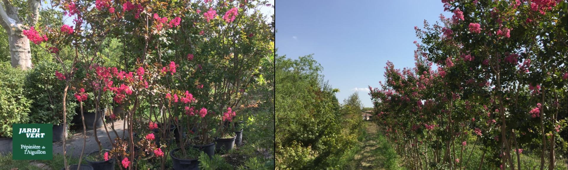 Très grand choix de lilas des Indes ou lagerstroemia  - Pépinière de l'Aiguillon producteur Toulouse