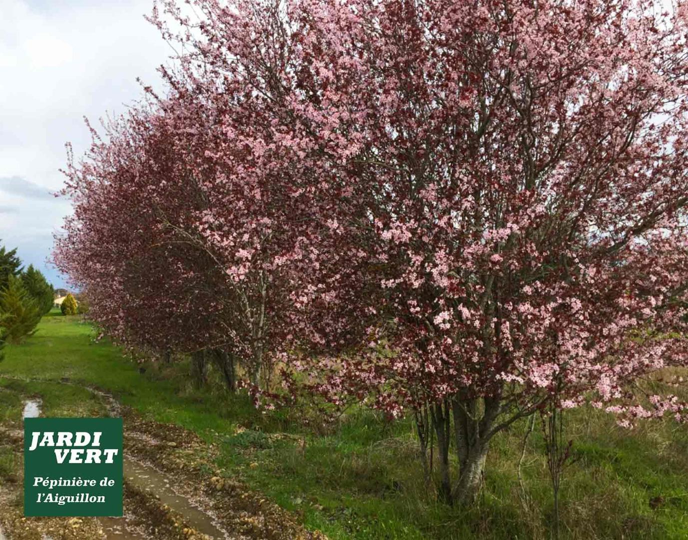 Vente de grands prunus pissardii adultes (ou Prunus cerasifera nigra) en champs à Frouzins