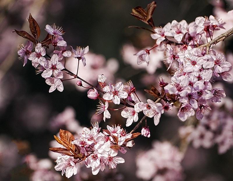 Vente de prunus pissardii et cerisiers à fleurs - Pépinière de l'Aiguillon producteur Toulouse