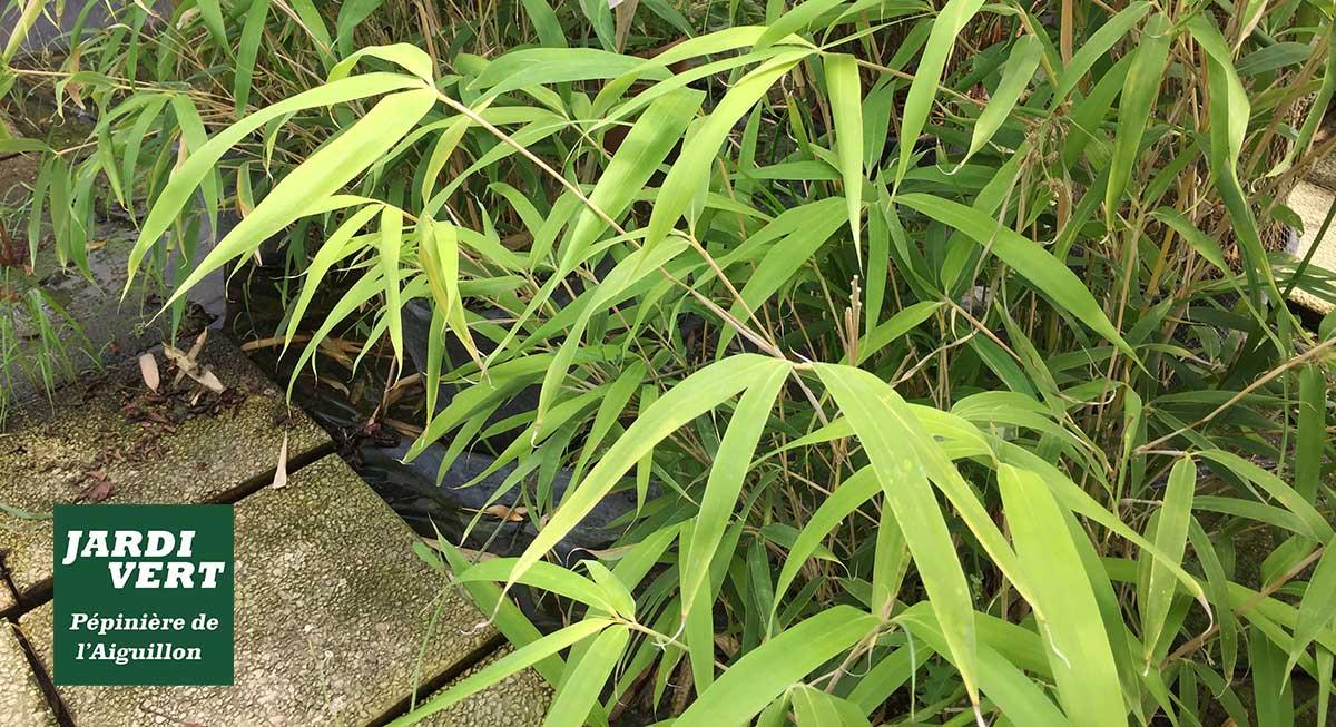 Le pseudosasa, un bambou déco plein de charme
