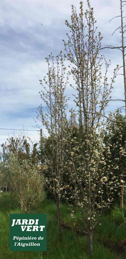 Vente de poiriers à fleurs Chanticleer colonnaire - Pépinière de l'Aiguillon près de Blagnac et Colomiers