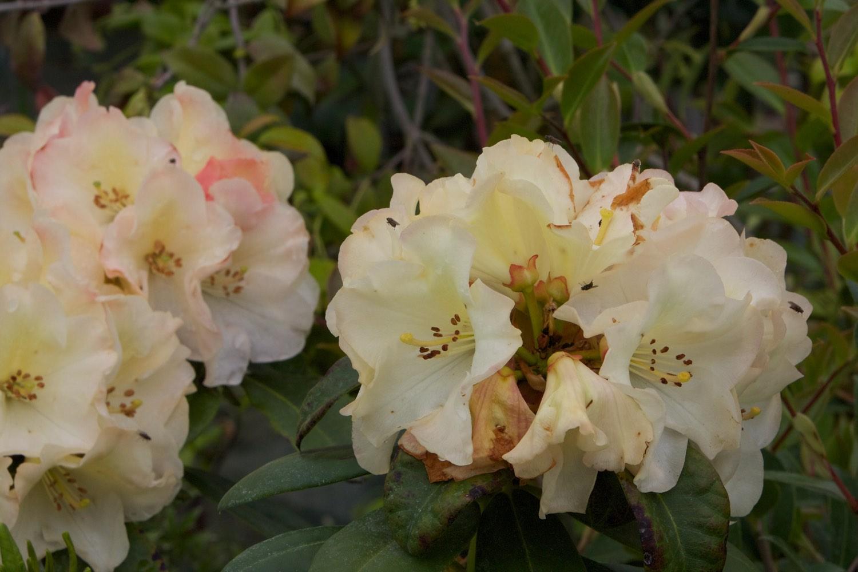 Vente de rhododendrons de couleur - Pépinière de l'Aiguillon jardinerie à Toulouse