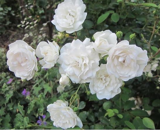 Vente de rosiers couvre-sol - Jardinerie de l'Aiguillon Toulouse