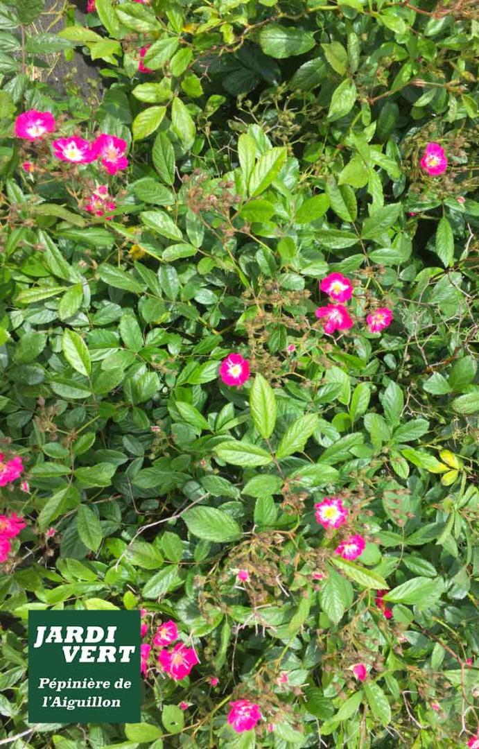 Planter des rosiers rustiques et remontants - Jardinerie de l'Aiguillon à Frouzins