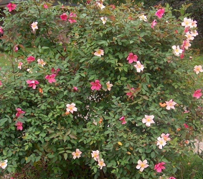 Vente de rosier mutabilis - Pépinière de l'Aiguillon Toulouse