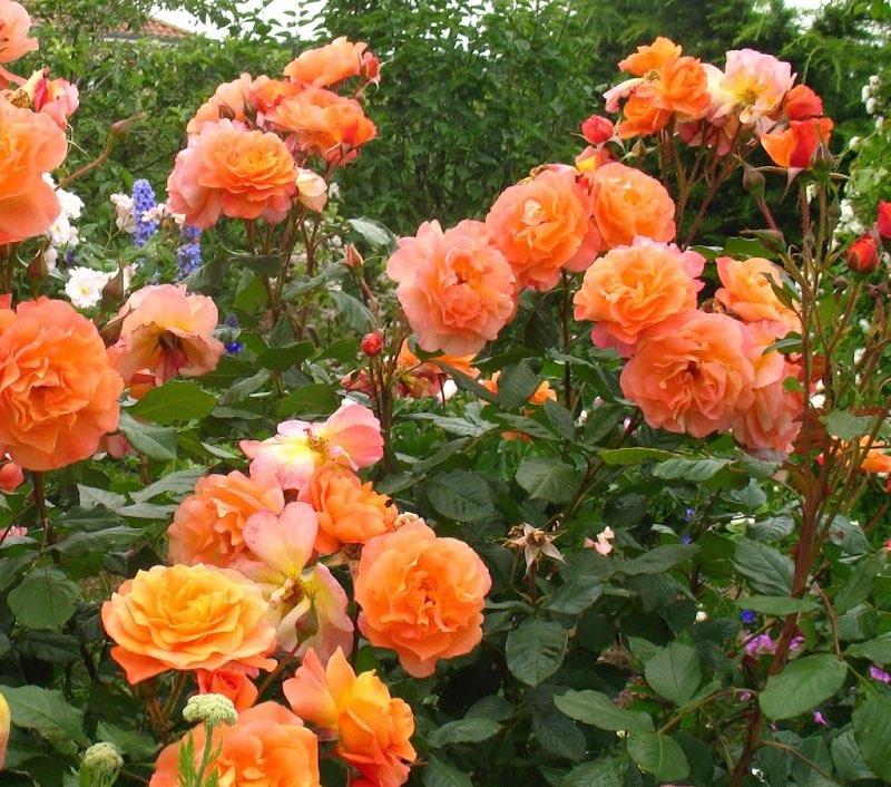Vente de rosier westerland orange - Jardinerie de l'Aiguillon Toulouse
