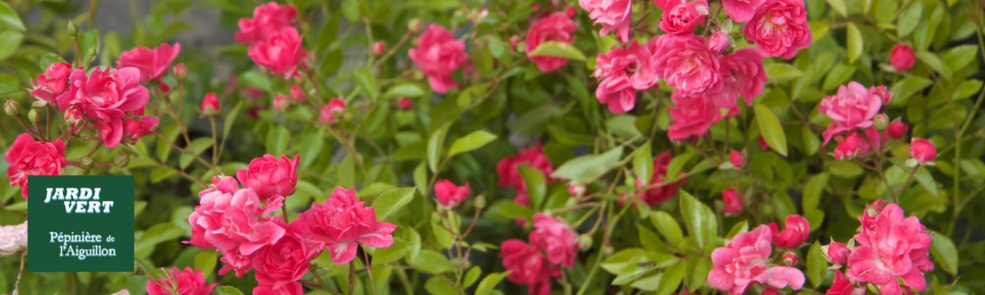 Vente de rosier couvre-sol