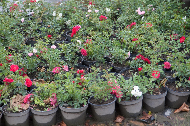 Producteur de rosiers couvre-sol - Pépinière de l'Aiguillon Toulouse