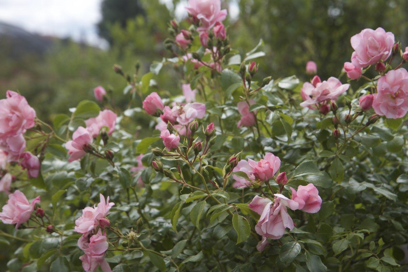 Vente de rosiers anciens, remontants et parfumé - Pépinière de l'Aiguillon Toulouse
