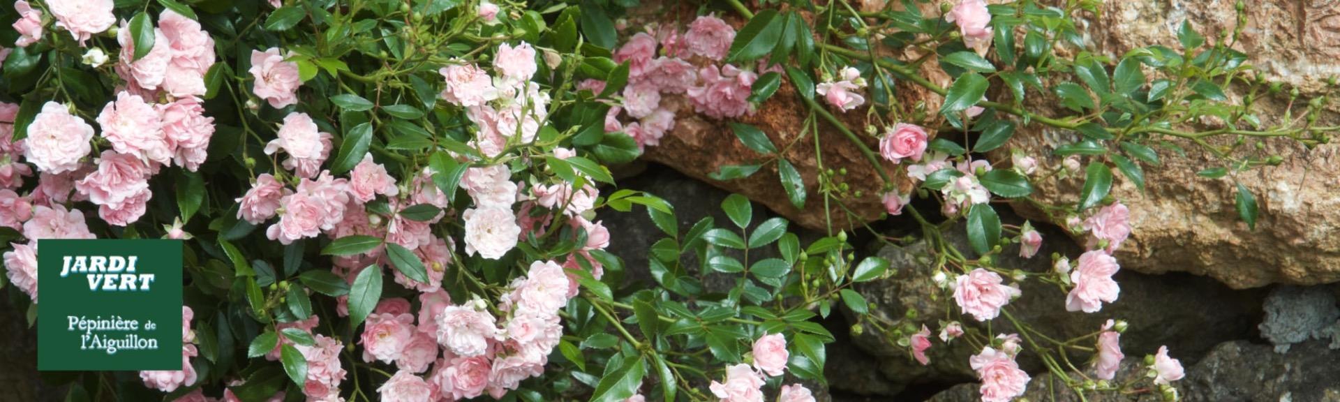 Vente de rosiers the fairy - Jardinerie de l'Aiguillon Toulouse