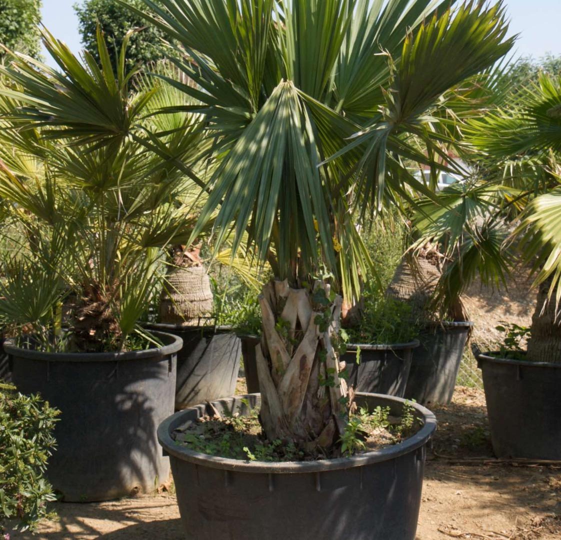 Vente de palmiers à Toulouse - Jardi Vert pépinière de l'aiguillon