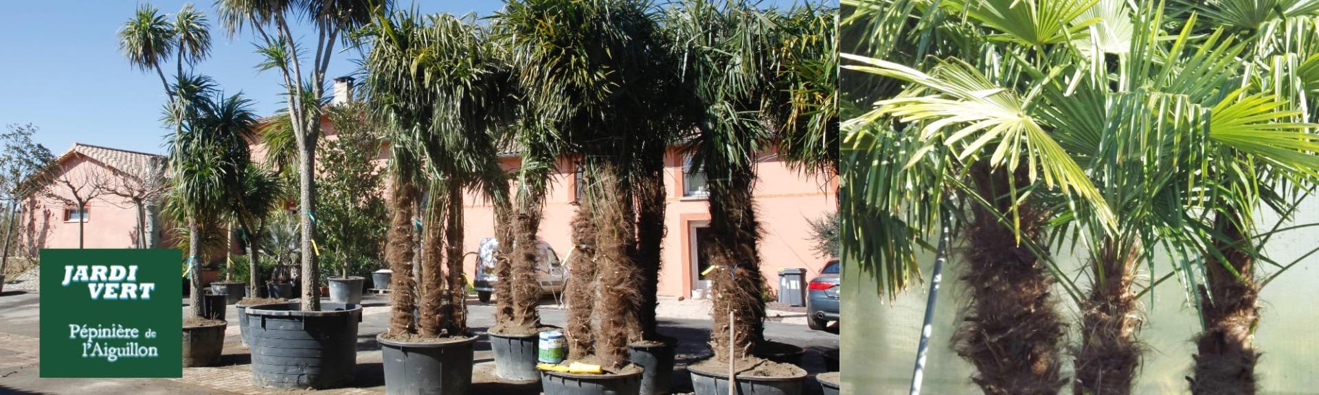 Vente de palmiers gros sujets à Toulouse - Jardinerie pépinière de l'aiguillon