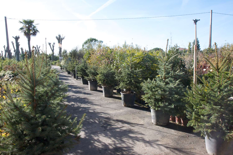 Grand choix de sapins et coniferes nains en jardinerie à Toulouse