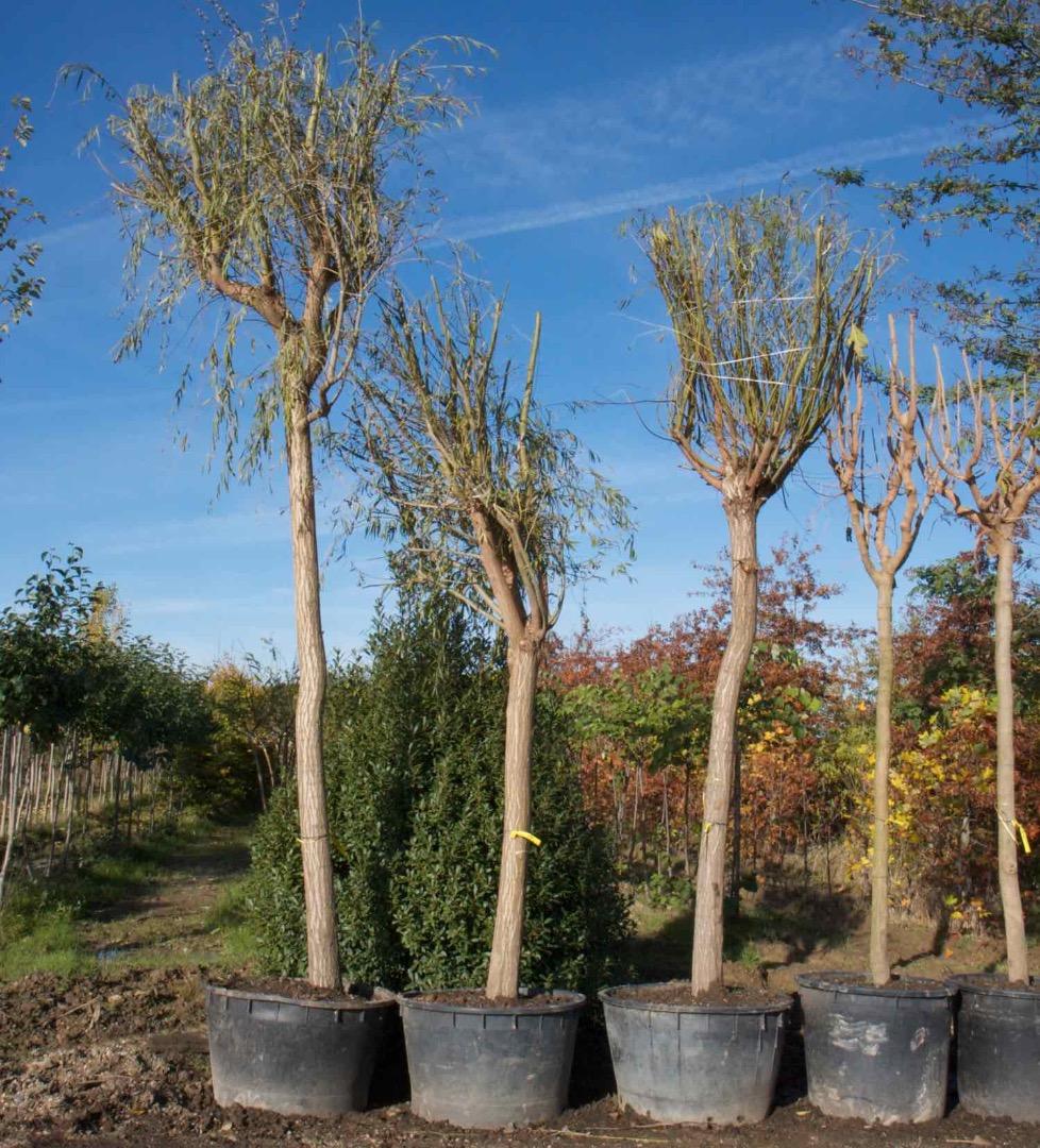 Vente de chenes rouge americain et erables - Pépinière de l'Aiguillon arboriculteur Toulouse