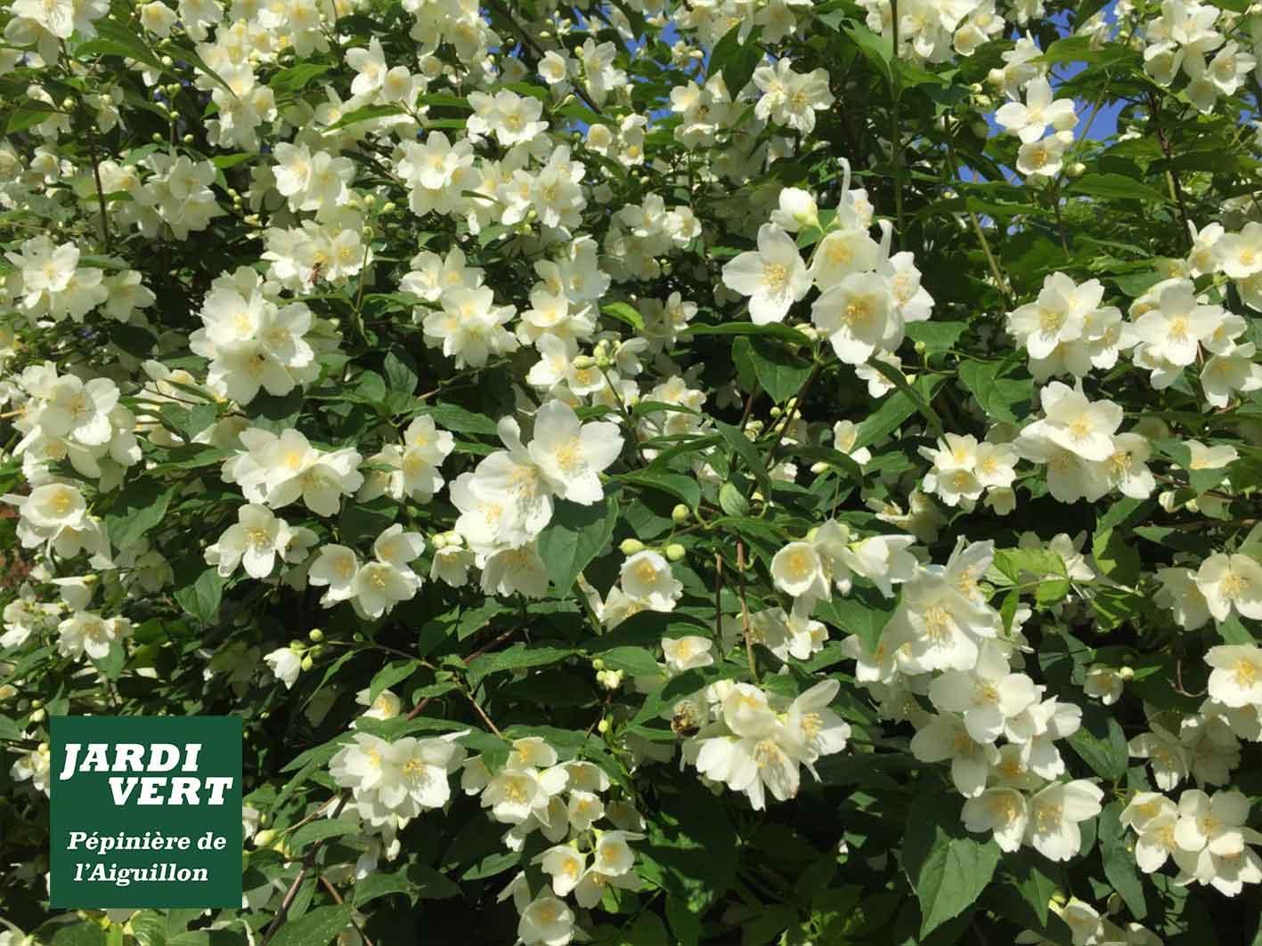 Livraison et plantation de seringat et arbustes à fleurs pour la haie - Pépinière de l'Aiguillon Frouzins