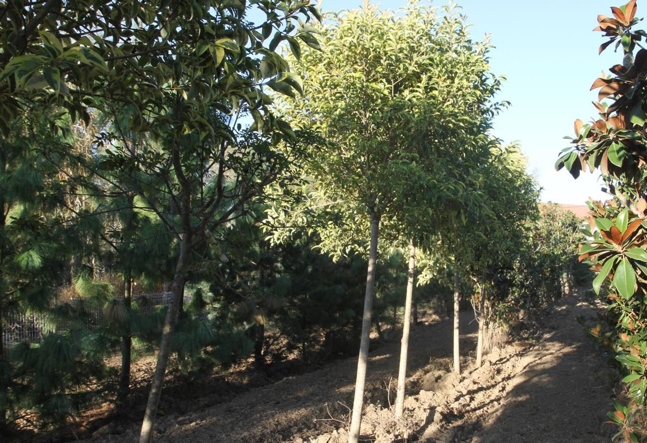 Vente de hêtre et sorbier des oiseaux  - Pépinière de l'Aiguillon producteur Toulouse