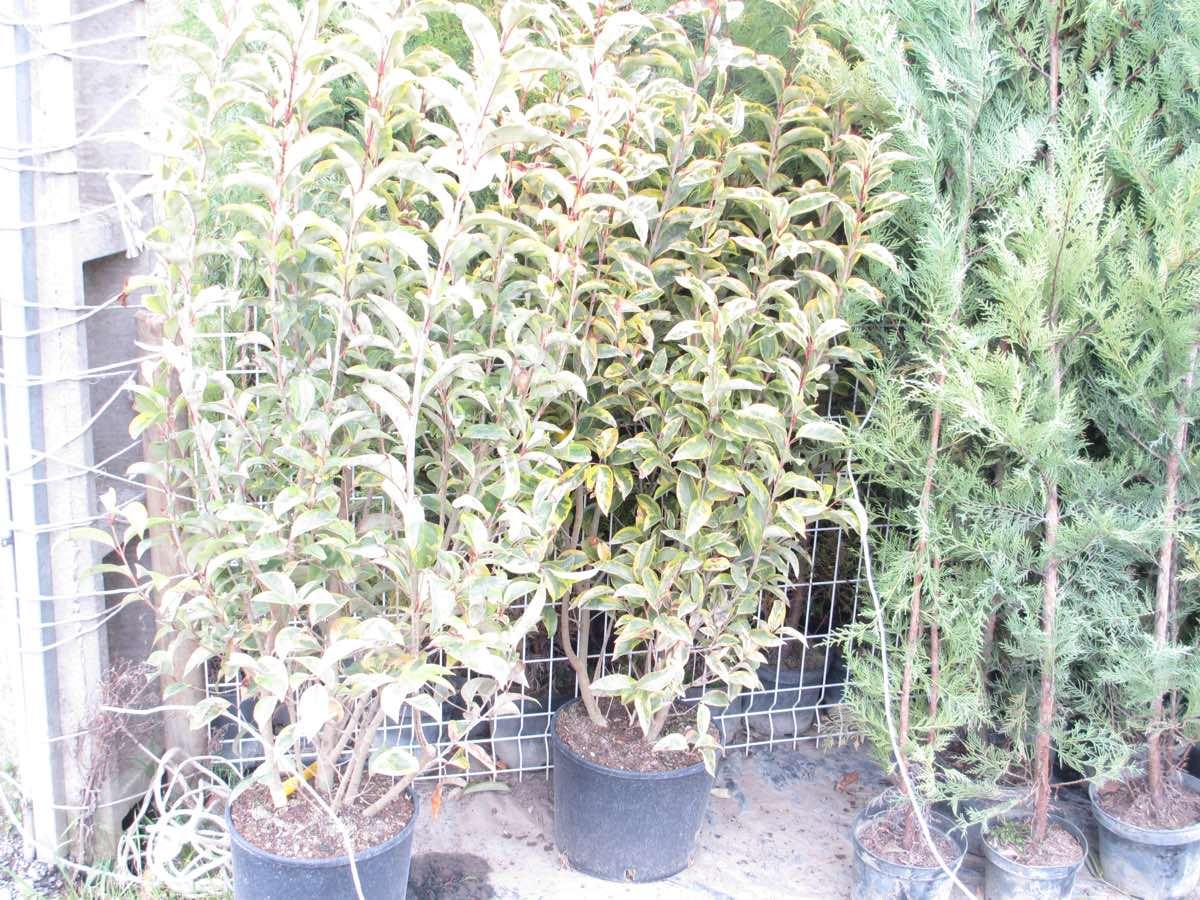 Vente de buissons fleuris et mellifères - Pépinière de l'Aiguillon jardinerie à Toulouse