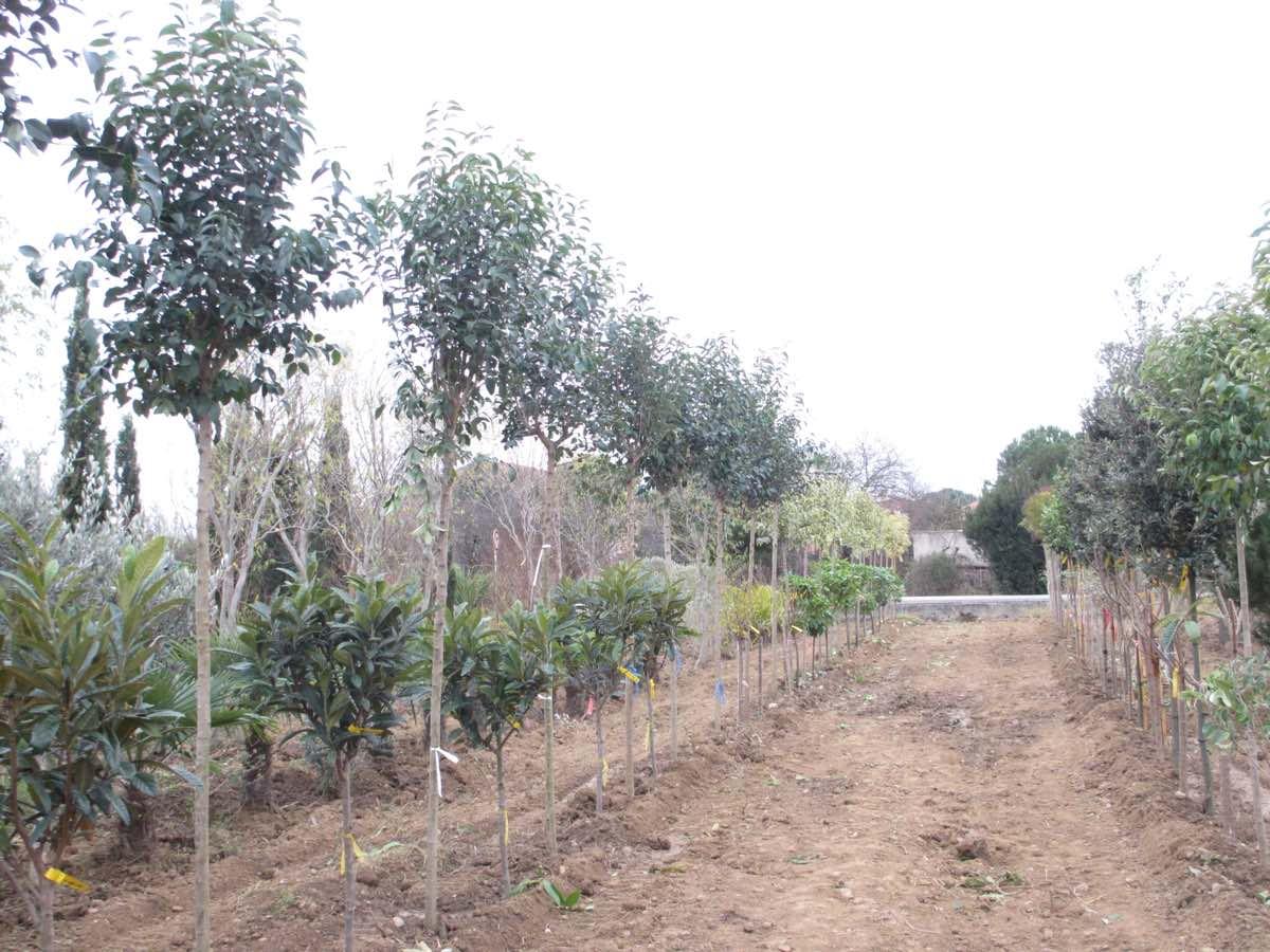 Vente de troenes - Pépinière de l'Aiguillon
