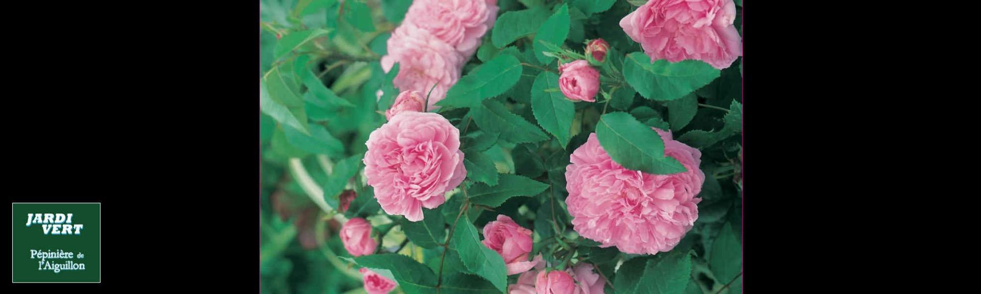Vente de rosiers anciens remontant 'jacques cartier' parfumé - Jardinerie de l'Aiguillon Toulouse