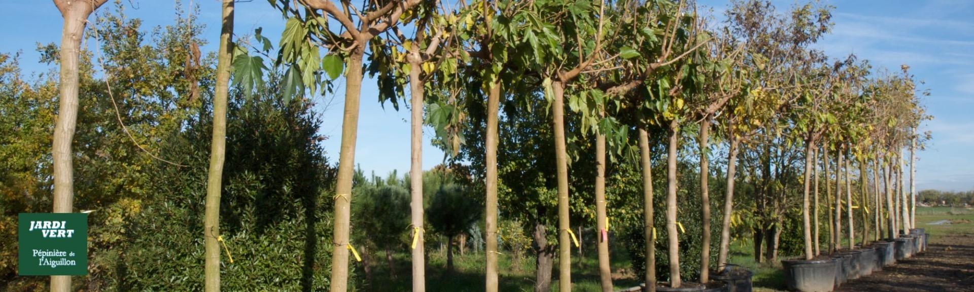 Vente, livraison et plantation de murier - Pépinière de l'Aiguillon producteur Toulouse