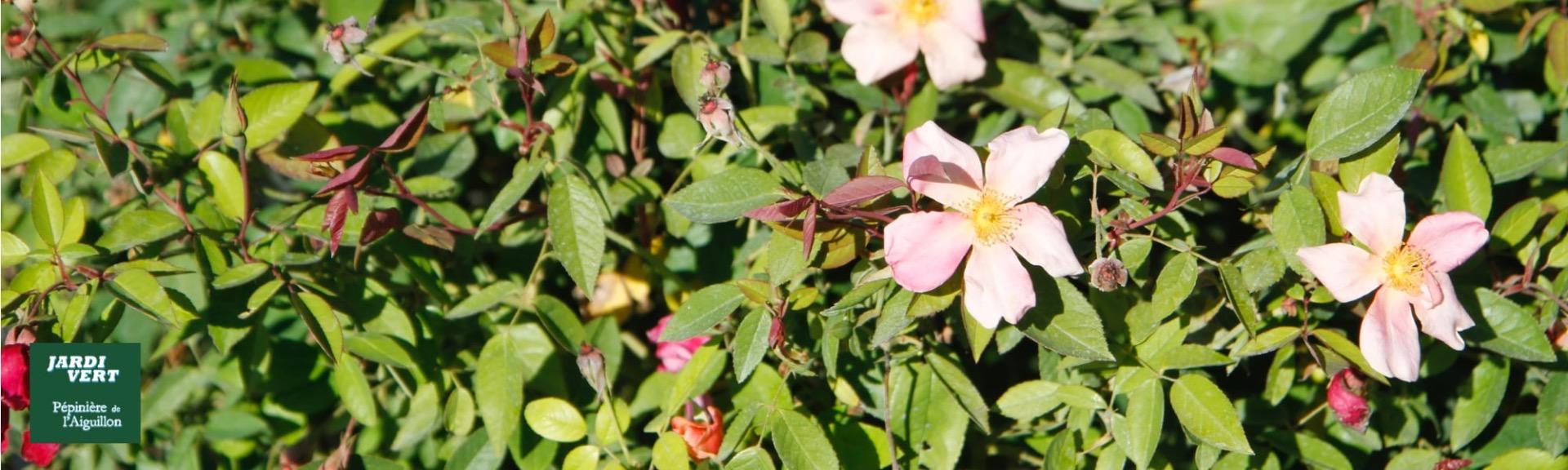 Vente de rosier multicolore buissonnants et rustiques - jardinerie de l'Aiguillon 31 Haute Garonne