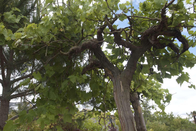 Vente de pieds de vignes à Toulouse
