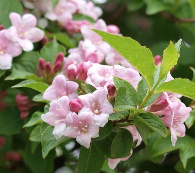 Wegelia ou weigela rouge rose blanc ou panach - Pépinière de l'Aiguillon Jardi Vert Toulouse