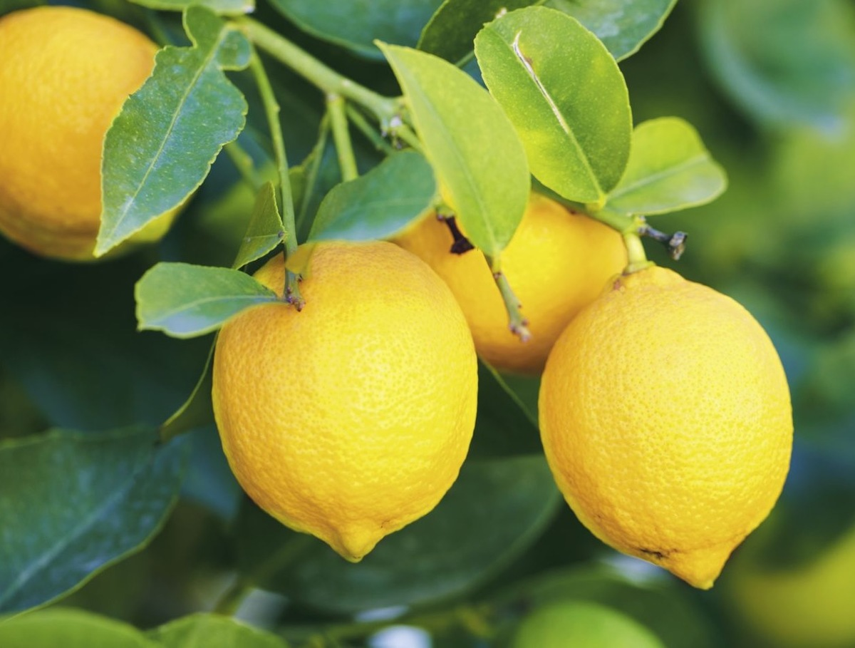 Citronniers & agrumes