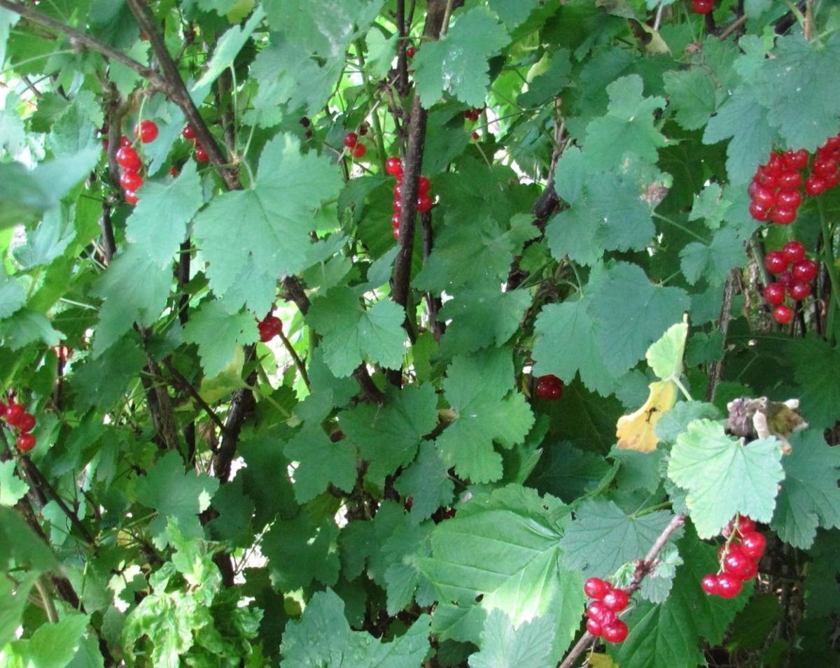 Plantes à petits fruits