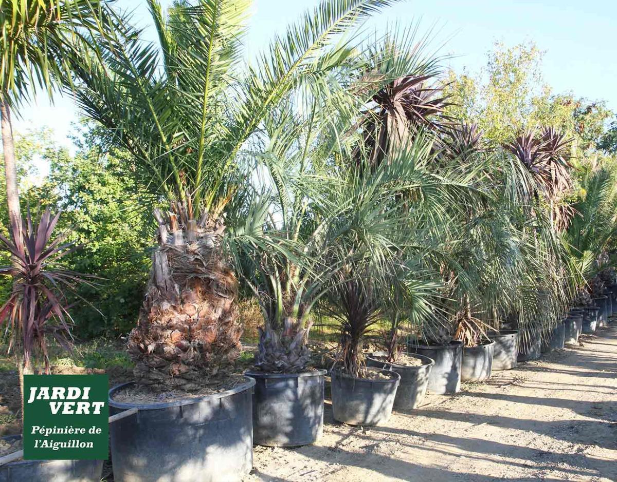 Nos palmiers