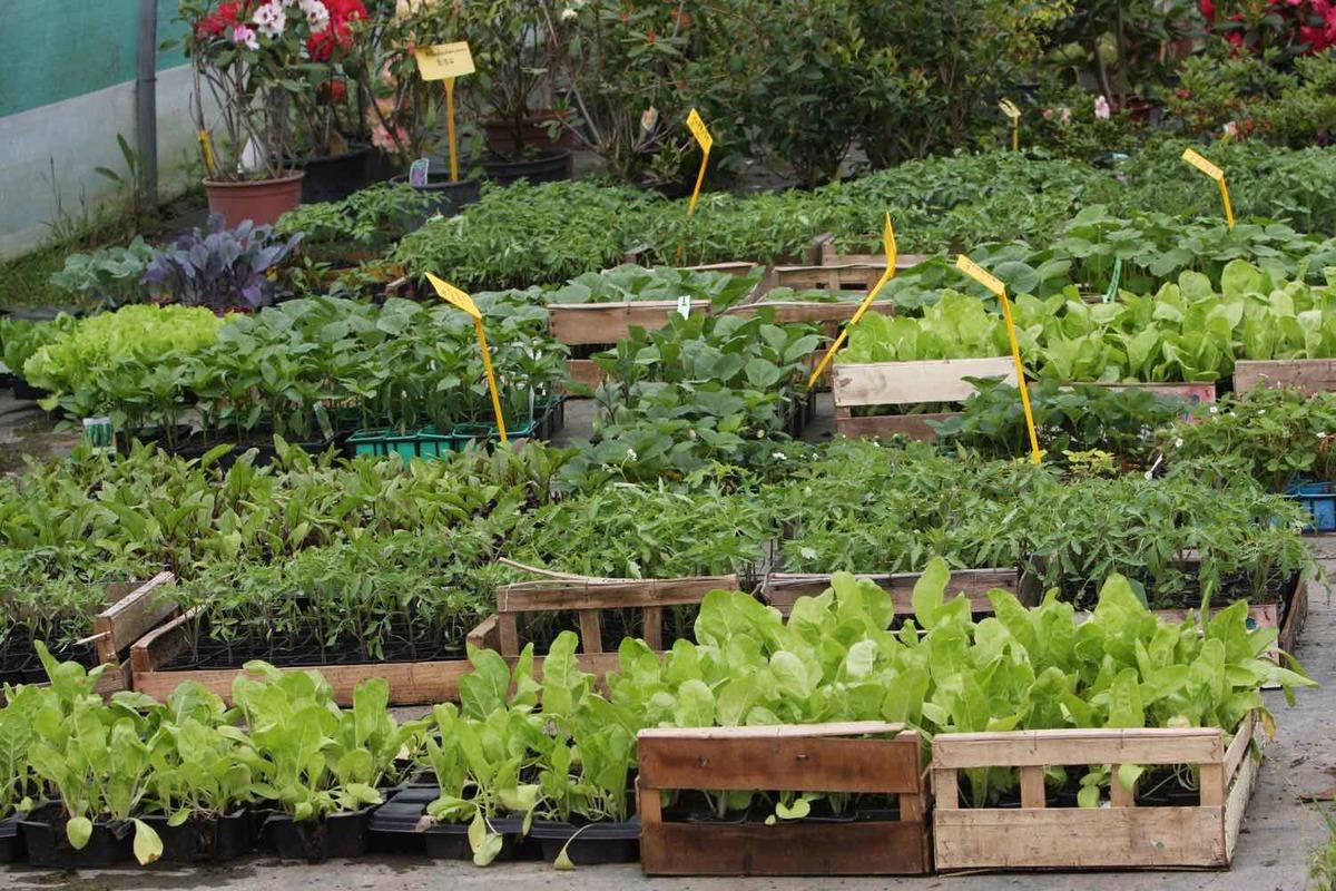 Plantes anti moustiques, plantes utiles et plants de légumes