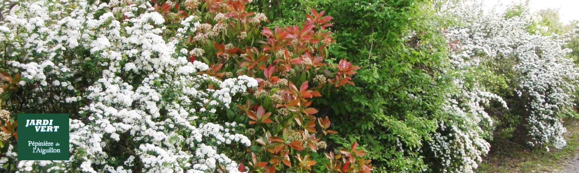 Arbuste Fleuri Feuillage Persistant grand choix d'arbustes de haie - pépinière de l'aiguillon à