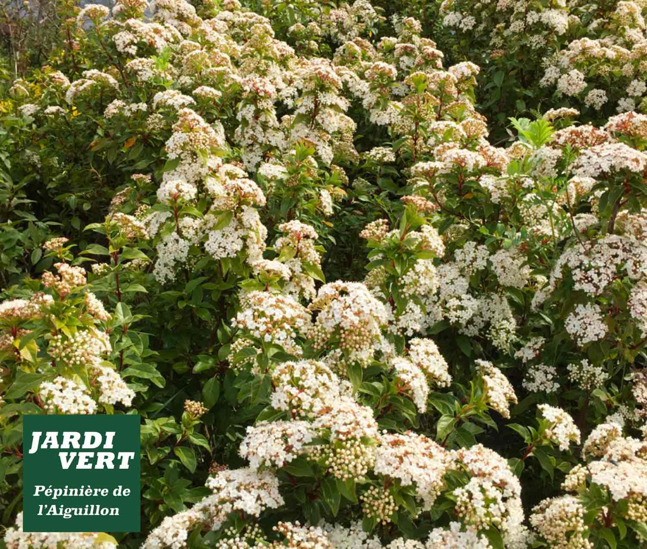 Taille Du Laurier Tin plantes à massif talus et rocaille à la jardinerie pépinière