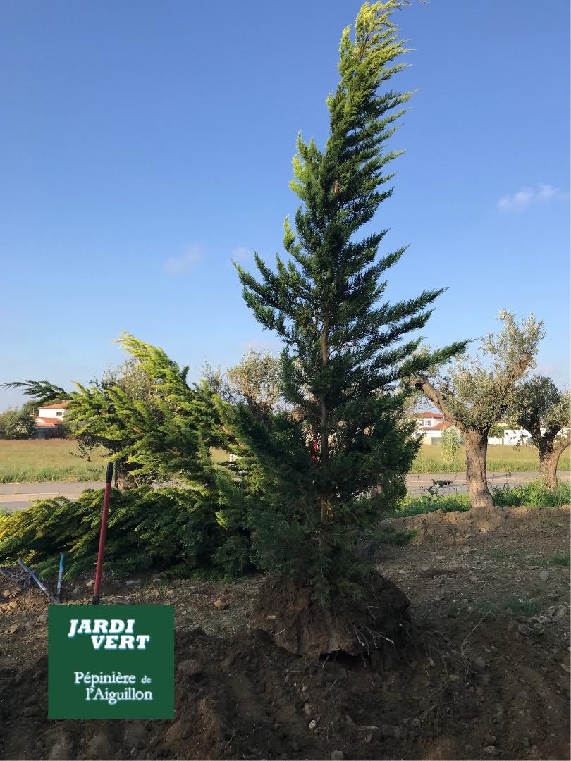 P pini re de l 39 aiguillon votre producteur de cypr s - Plantation cypres de leyland ...