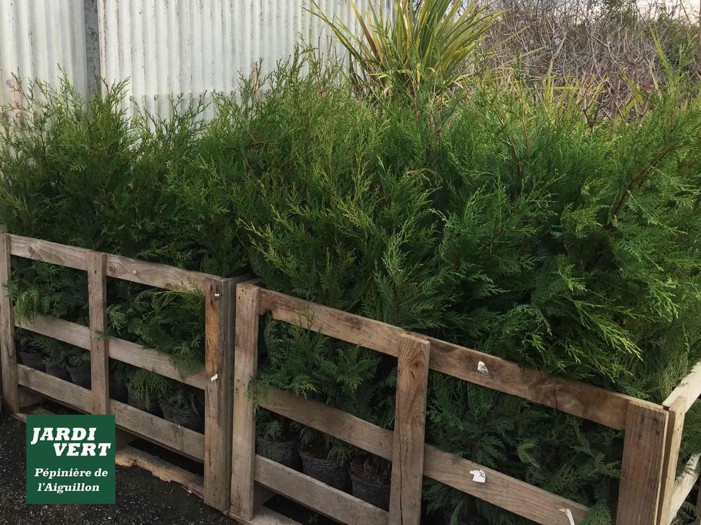 Jardinerie Pas Cher Toulouse pépinière de l'aiguillon - votre producteur de cyprès à toulouse